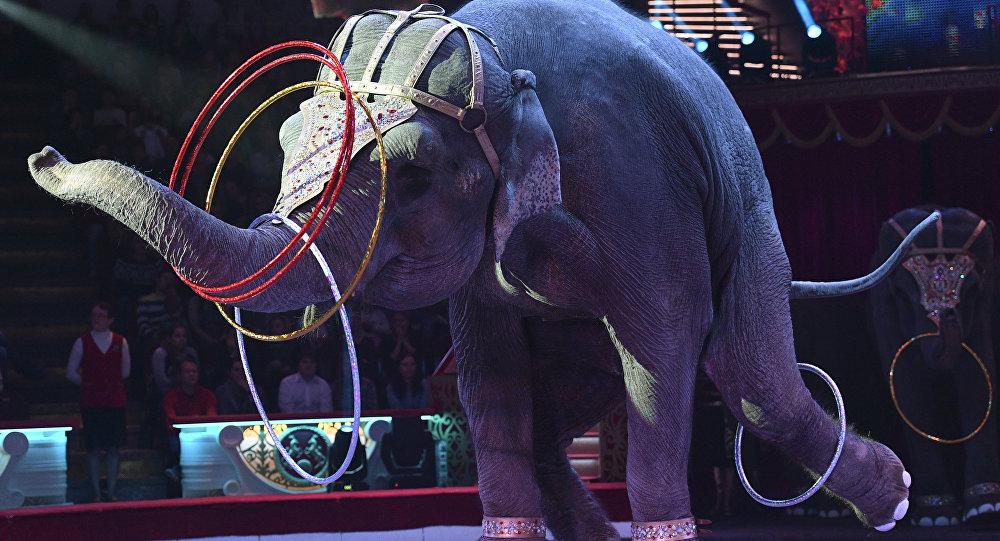 Слон во время циркового номера