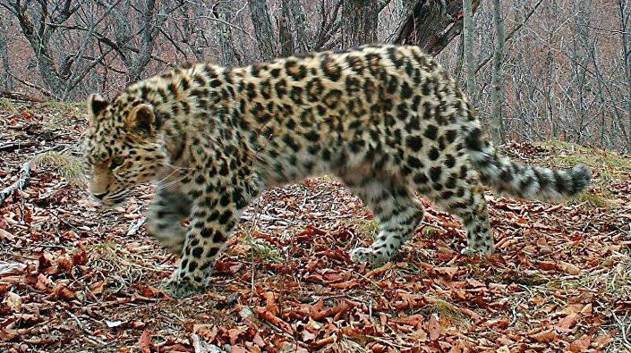 Дальневосточный леопард в национальном парке Земля леопарда
