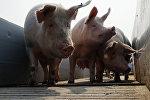 Свинокомплекс
