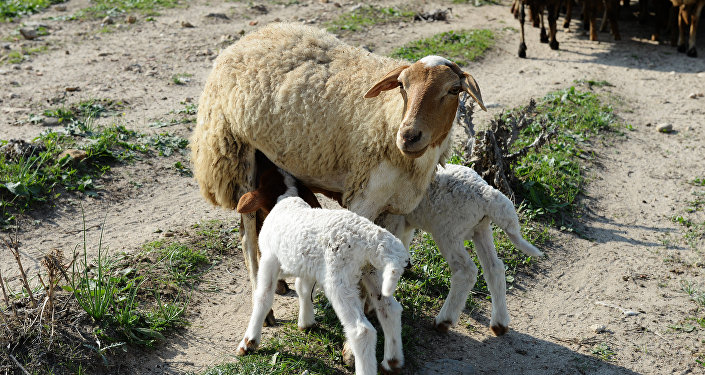 Овца с ягнятами. Архивное фото