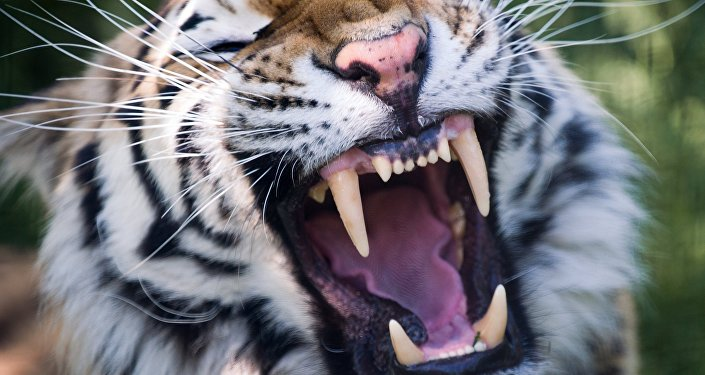 Amūras tīģeris
