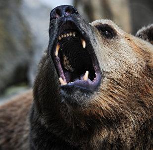 Оскал бурого медведя