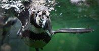 Пингвин Гумбольта