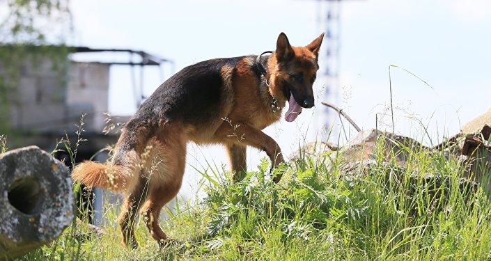 Архивное фото: служебная собака во время поиска пострадавших