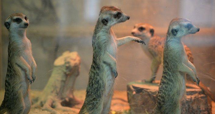 Сурикаты в зоопарке. Архивное фото