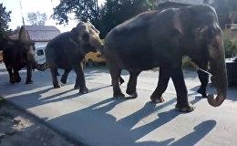 Слоны на улицах Златоуста - цирковые животные цепочкой прошли по городу