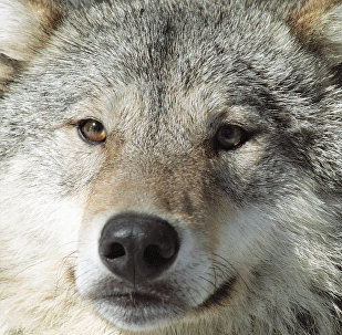Волк, архивное фото