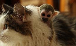 Брошенная родителями обезьяна обнимала приемную маму-кошку и каталась на ней