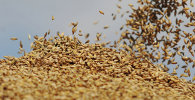 Сбор урожая на сельхозпредприятии Пульс-Агро