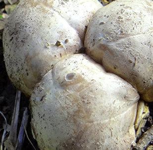 Такие белые трюфели - троицкие (они же польские или свиные) - растут в прибалтийских лесах