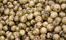 Kartupeļu raža. Foto no arhīva