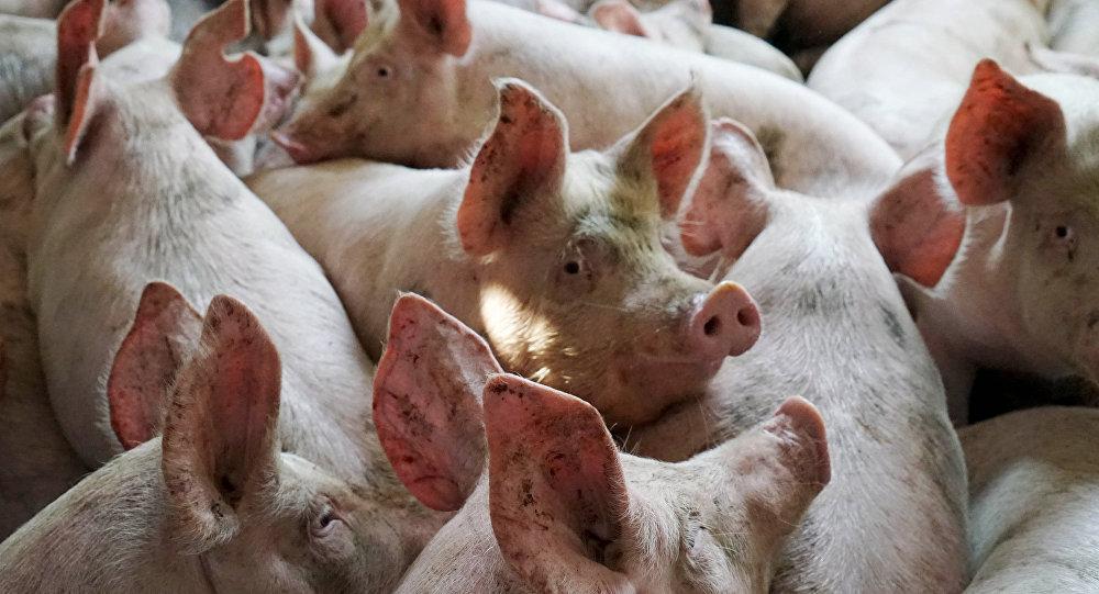 «Подложили свинью»: EC желает русской свинины «под соусом» санкций