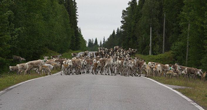 Архивное фото стада оленей на трассе