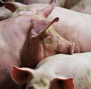 Свиньи в свинокомплексе
