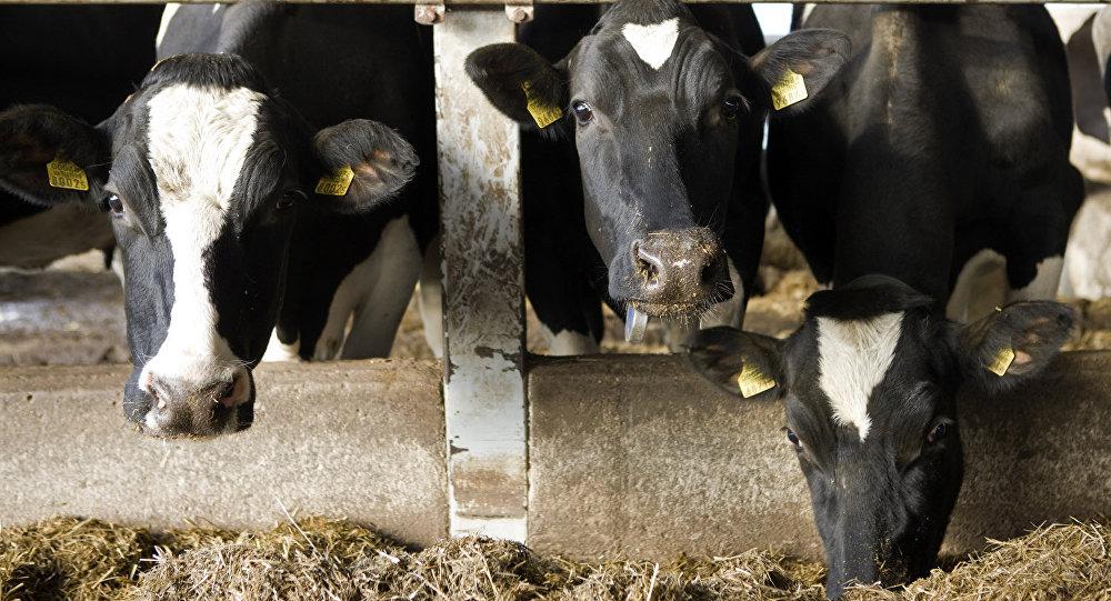 Коровы на ферме.