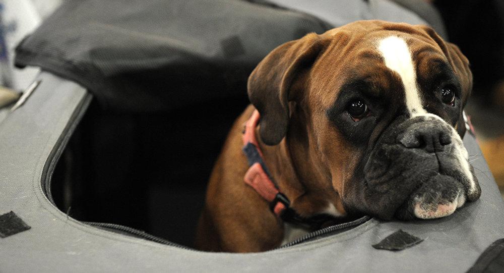 Собака породы немецкий боксер. Архивное фото