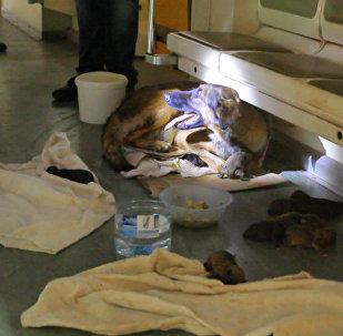 Хвостатые пассажиры: дворняжка родила девять щенков в вагоне метро