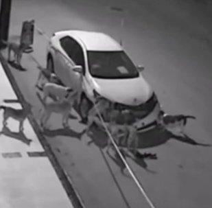 Собаки, отрывающие бампер автомобиля