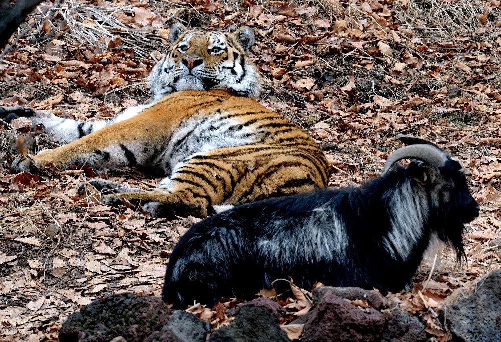Reitingā iekļauts viens vienīgs zooparks Krievijā – Piejūras safari parks, kurā dzīvo tīģeris Amūrs un āzis Timurs. Plēsoņas un viņa upura draudzība nav unikāla – Piejūras parkā sadzīvo arī Himalaju lācis, jenots un ūdrs.