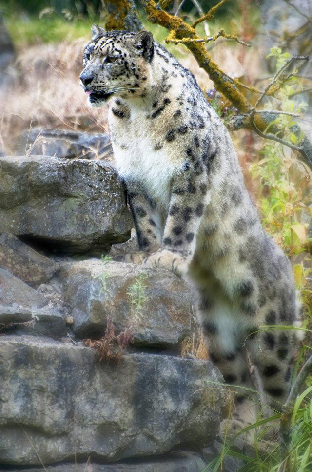 Dublinas zooparks no biļešu pārdošanas gūtos ieņēmumus pārskaita sniega leopardu aizsardzībai Mongolijā, Indijā un Pakistānā. Tas sadarbojas ar organizāciju Snow Leopard Trust, kas izveidota šo kaķu dzimtas pārstāvju aizsardzībai un izpētei.