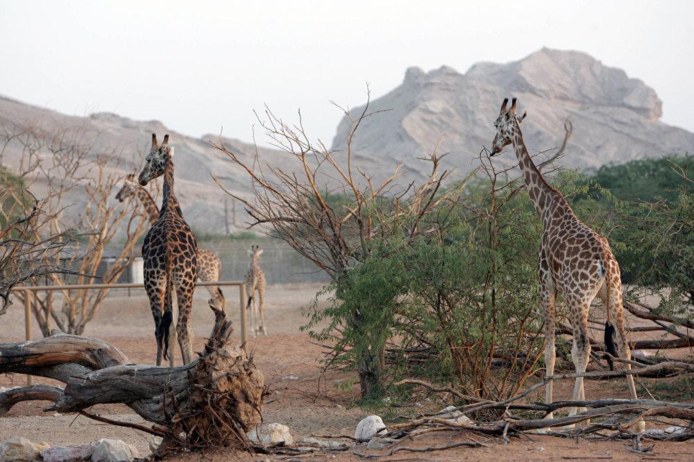 Aptuveni pusi El Ainas zooparka teritorijas AAE veido tuksnesis, tomēr 200 hektārus apdzīvo žirafes, lauvas un citi dzīvnieki.