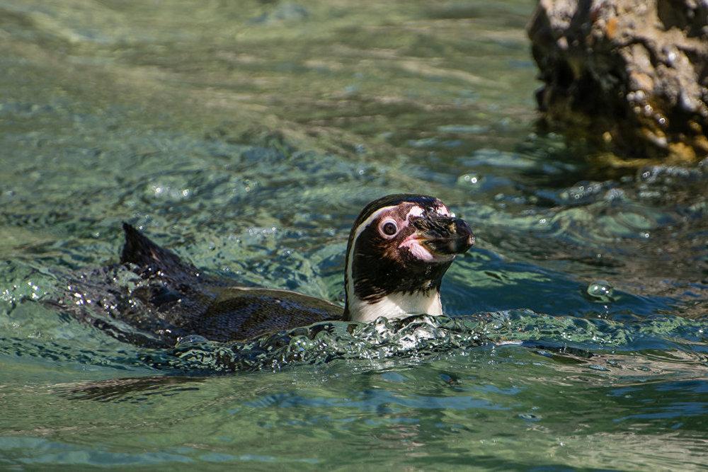 Cīrihes zooparkā ik dienas pēcpusdienā, ja vien laika apstākļi ir piemēroti, promenādē dodas imperatora pingvīni. Viņi brīvi pastaigājas pa parka celiņiem, nepievēršot uzmanību apmeklētājiem.