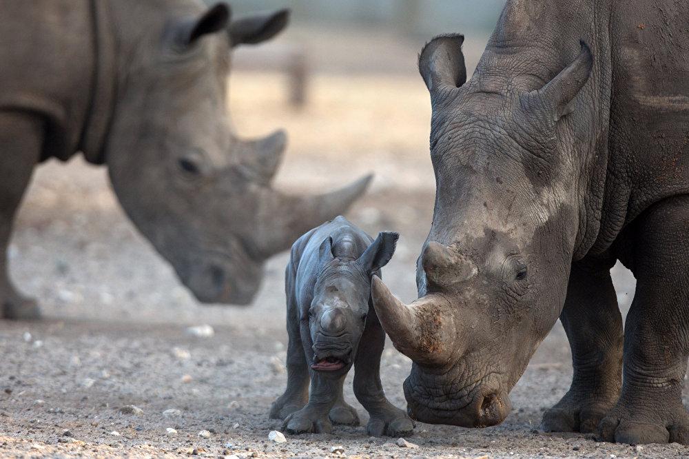 Telavivas zooparkā izveidota Āfrikas savanna. Šeit pieņem ievainotus un slimus dzīvniekus, kuri pēc atveseļošanās atkal atgriežas savvaļā.