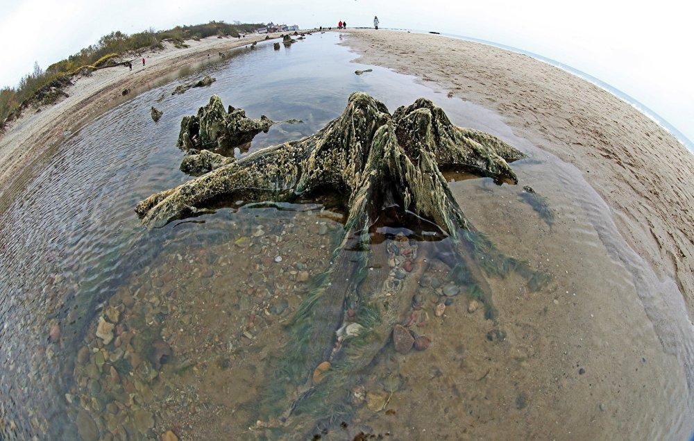 Остатки реликтовых деревьев на берегу Балтийского моря