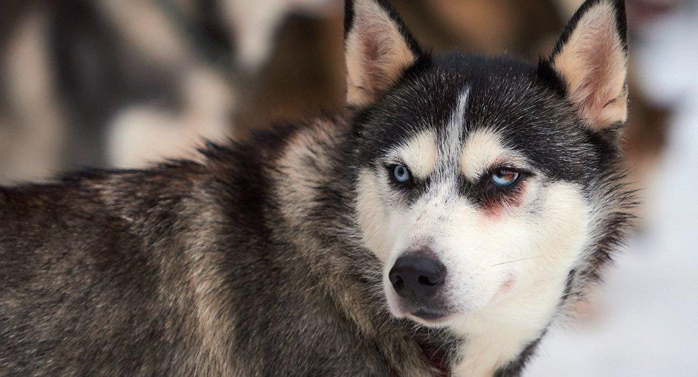 Собаки разорвали 5-летнюю девочку, ребенок скончался — катастрофа под Ригой