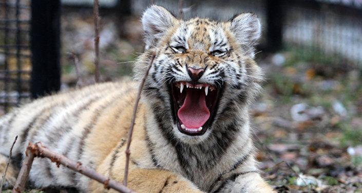 Уссурийский тигренок. Архивное фото