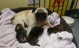Собака заменила котятам маму в лондонском приюте для бездомных животных