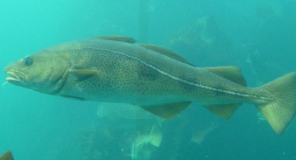 Рыба треска. Архивное фото
