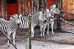 Зебры в рижском зоопарке