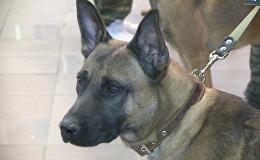 Krievijā ievesti unikāli dienesta suņi