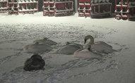 Лебеди упали на АЗС