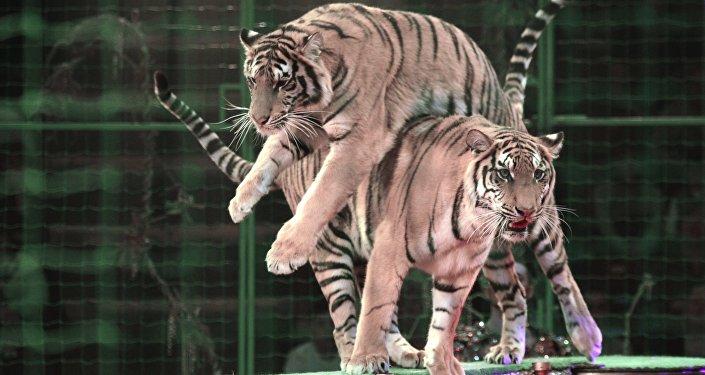 Тигры во время представления в цирке