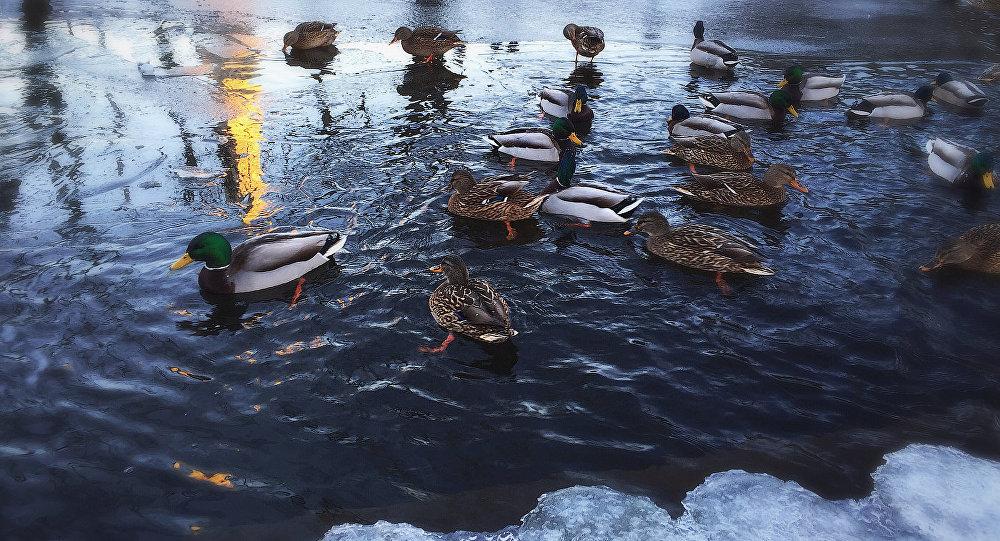 Утки на водоеме в Риге. Архивное фото