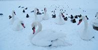 Утки и лебеди на набережной Даугавы