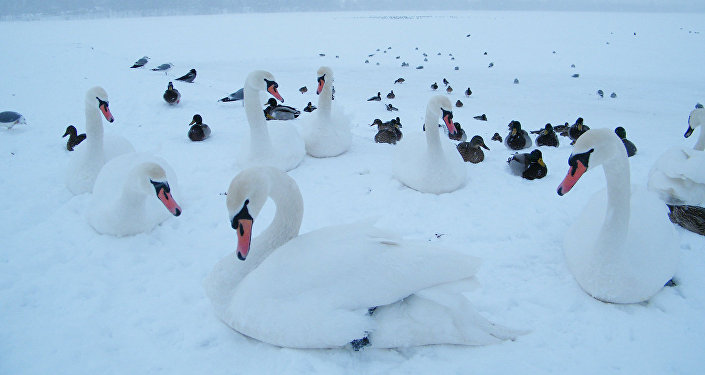 ВЛитве лебеди погибают отптичьего гриппа