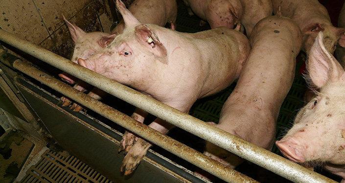 Свиньи в свинарнике, архивное фото