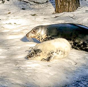В Рижском зоопарке родился тюлень