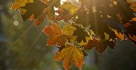 Листья клена