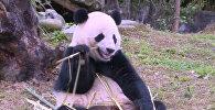 No ASV uz Ķīnu: panda Bao Bao atgriezās dzimtenē