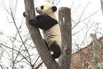 Панды в венском зоопарке