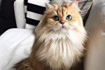 Кошка по кличке Смузи