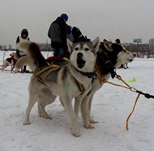 Irkutskā startējušas suņu pajūgu sacīkstes