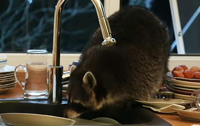 Енот пробрался на кухню и перемыл гору грязной посуды