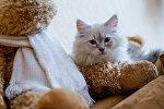Котенок породы Невская маскарадная