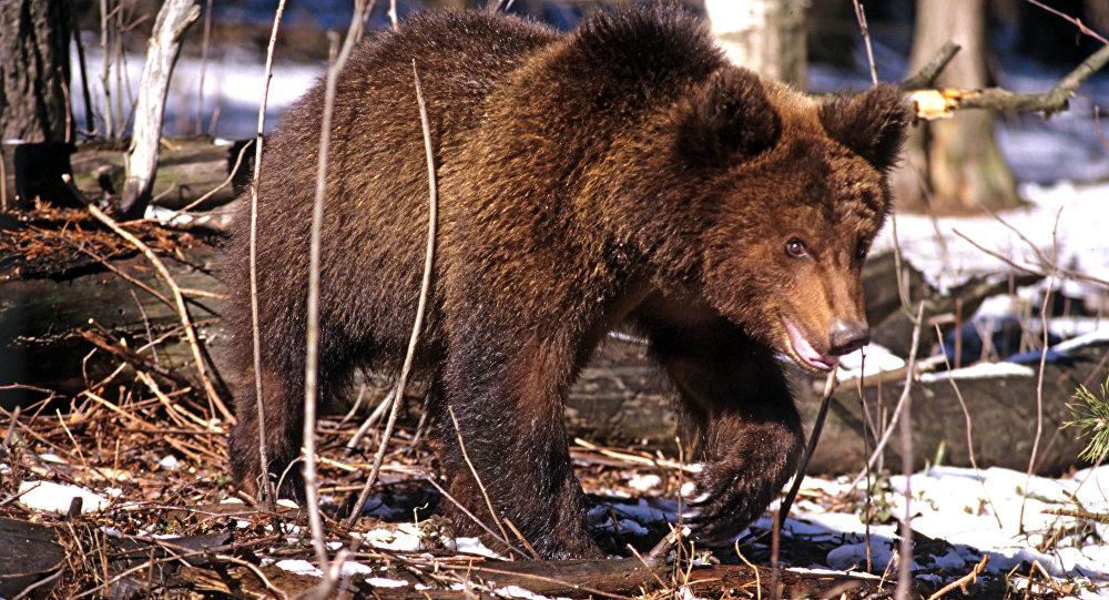Картинки по запросу Медведь незаконно пересек границу в Россию.