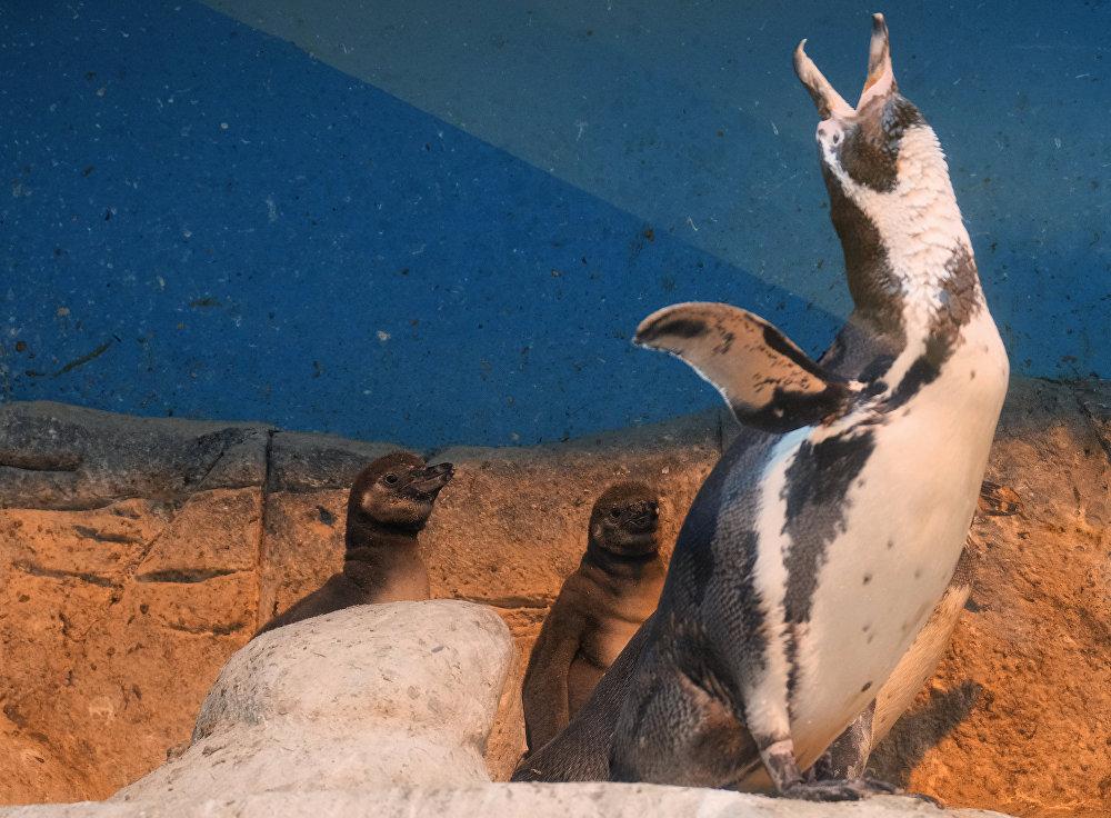 Пингвин Гумбольдта с птенцами в Московском зоопарке